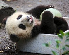 Happy boy, Xiao Liwu at San Diego Zoo, it rhymes! lol  He loves his ball and box 1/28/13