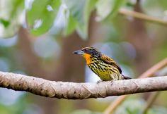 Foto capitão-de-fronte-dourada (Capito auratus) por Marcelo Camacho   Wiki Aves - A Enciclopédia das Aves do Brasil