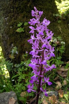 Orchis langei (Orquídea silvestre)
