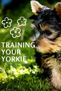 Super simple Yorkie training for your dog. The fun and effective way to train your Yorkshire Terrier. (Affiliate)