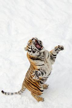 tigre affamé - hungry tiger jump, winter, snow