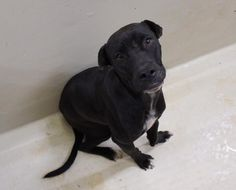 11/21/16-ODESSA,TX-  URGENT- OWNER SURRENDER  Max is a male Lab mix less than a year old This poor guy has not been cared for. He has an injury to his front left leg that was never treated and didn't heal properly so his leg is crooked. He is Not even a year old yet  Kennel A10  $19 to adopt  ADOPT/RESCUE/FOSTER   Located at Odessa, Texas Animal Control. Must have a valid Drivers License and utility bill with matching address to adopt.