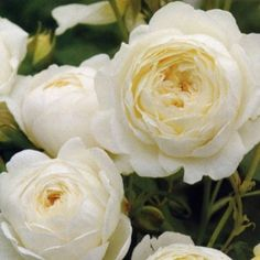 Claire Austin David Austin Rose, scented, can be grown as climber to 8 ft, or pruned as shrub to 5 ft, sold by Botanus in BC by mail.