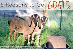 5 Reasons to Get Goats | The Flip Flop Barnyard