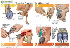 Add to Favorites Goat hoof trimming is a necessary part of keeping and raising goats. When a goat cooperates, hoof trimming can easily and smoothly fit into your regular maintenance … Keeping Goats, Raising Goats, Raising Farm Animals, Trimming Goat Hooves, Cabras Boer, Goat Playground, Goat Shelter, Horse Shelter, Animal Shelter