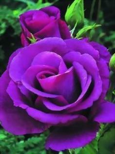 Purple Rose- not only am I 'yearning' for this plant; I am yearning to write a book with this title! My mind is running wild!!!!!!!
