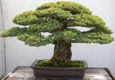 Bonsai is a technique of dwarfing trees by curtailing their growth, and nearly any perennial species can be grown as a bonsai. The trees are grown in small containers with very...