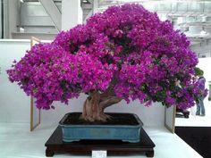 Happy Bougainvillea Bonsai, Flowering Bonsai Tree, Bonsai Trees, Ikebana, Plantas Bonsai, Japanese Flowers, Japanese Art, Japanese Culture, Miniature Trees