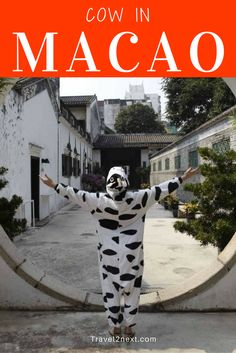 Cow in Macau funny video. I recently had the opportunity to visit the historic city of Macau with a most unusual travelling companion.