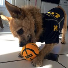 In honor of #MarchMadness, he's practicing his dribbling and passing!