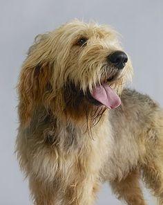 Endangered dog breeds: Otterhound