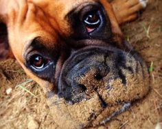 I haven't met a Boxer that didn't love to play in the mud. Boxer Breed, Boxer Bulldog, Boxer Mom, Funny Boxer, Boxer And Baby, Boxer Puppies, Dogs And Puppies, Doggies, I Love Dogs