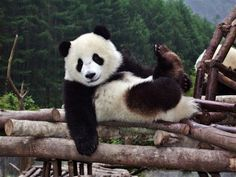 One day I'm going to volunteer at this Giant Panda Center in China <3