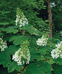The Only Shrubs You Need to Grow A garden designer recommends eight plants that provide reliable good looks without a lot of work by Lynden Miller Fine Gardening issue 127 Plants, Beautiful Gardens, Planting Flowers, Shrubs, Fine Gardening, Outdoor Plants, Garden Design, Shade Plants, Shade Garden