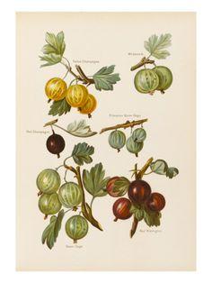 gooseberries (egreše)