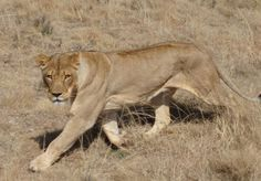 Lioness at Shelanti Game reserve, Limpopo, South Africa