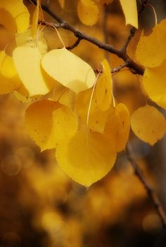 **Yellow Aspen leaves