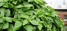 Λικέρ βασιλικού - Συνταγή Beverages, Drinks, Parsley, Spinach, Alcohol, Herbs, Sweets, Vegetables, Plants
