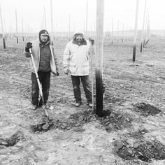 Hop Growers in Yakima, WA. Save your poles! ROTBLOC was applied to these poles to prevent ground-line rot.  100% GREEN recyclable product.  ROTBLOC is a certified organic device in the USA and Canada.  Sold direct from ROTBLOC LLC: info@rotbloc.com