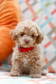 Maltipoo Dog Breed Information, Pictures, Characteristics & Facts Maltipoo Hunderasse Bild Teacup Maltipoo, Maltipoo Dog, Mini Goldendoodle, Cavapoo, Poodle Mix Dogs, Maltese Poodle, Cocker Poodle, Cute Puppies, Pets