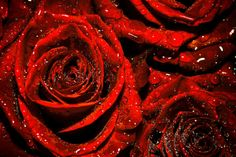 ~~ red roses ~~