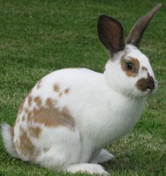 English Spot Rabbit Picture This is Spirit, he is very energetic, and very cute as well as being crazy of course Hunny Bunny, Baby Bunnies, Cute Bunny, English Spot Rabbit, Animals And Pets, Cute Animals, Strange Animals, White Rabbits, Bunny Rabbits
