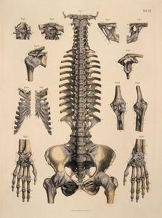 Vertebral column and pelvis.