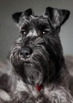 Cute dogs Schnauzer by Capi Beltran Cute Pets