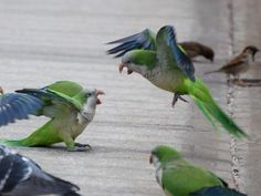 A new study on monk parakeets reveals a sophisticated social structure with layers of relationships and complex interactions. Credit: Steve Baldwin, brooklynparrots.com - Related news release: Being social: Learning from the behavior of birds - http://www.eurekalert.org/pub_releases/2014-09/nifm-bsl091114.php