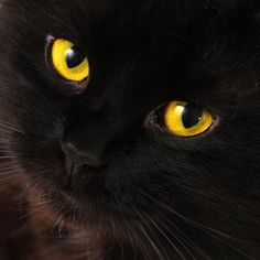 Hypnosis Cat just look into my eyes and feel my purr wash all over you to hypnotize you. I am just your perfect hypnotic cat. A beautiful black cat with mesmerizing eyes.
