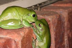 Not every frog you kiss turns out to be a prince.kiss a few. Frog Pictures, Animal Pictures, Amazing Pictures, Whites Tree Frog, Animals Kissing, Funny Animals, Cute Animals, Funniest Animals, Cute Frogs