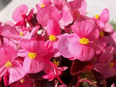 awesome Pink Begonia Desktop Picture