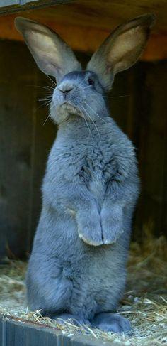 An actual blue bunny. Animals And Pets, Baby Animals, Cute Animals, Beautiful Rabbit, Bunny Care, Baby Bunnies, Hunny Bunny, Blue Bunny, Tier Fotos