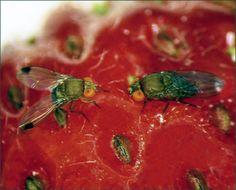 Two Spotted Wing Drosophila Flies