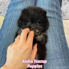 Black Pomeranian, Teacup Pomeranian, Pomeranian Puppy, Teacup Puppies For Sale, Puppy Chow, Bulldog Puppies, Dog Toys, Funny Cute, Baby Animals