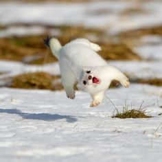 [Image: A picture of a white Arctic weasel in the snow jumping as it twists sideways with a seemingly gleeful, exuberant expression on its face.]