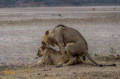 Afternoon delight for lions!