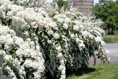 Top 20 des plus beaux arbustes à fleurs - M6 Deco.fr Spirea Shrub, Garden Shrubs, Garden Landscaping, Landscaping Ideas, Small White Flowers, Garden Yard Ideas, Propagation, Container Plants, Gardening