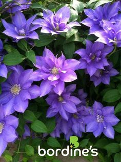 Clematis is a beautiful vining plant for your garden. Visit us at www.bordines.com