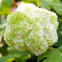 Vaughn's Lillie Oakleaf Hydrangea - This selection features exceptionally full flower heads. It also tends to bloom more profusely than the average oakleaf hydrangea and has a compact habit. It grows 4 feet tall and 5 feet wide. Hydrangea Quercifolia, Hortensia Hydrangea, Hydrangea Colors, Hydrangea Care, Hydrangea Flower, Flowering Shrubs, Trees And Shrubs, Bouquet, Garden Care