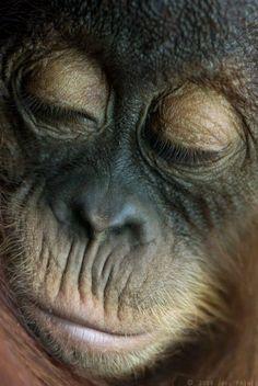 Dozy orangutan