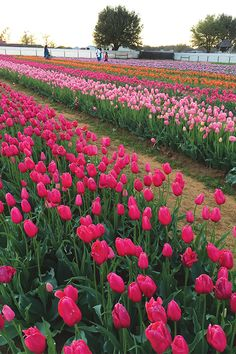 Tiptoe through the Tulips at Texas Tulips! See where to pick your own spring flowers and berries in Denton County in the latest edition of Denton Live! Flowers Nature, Beautiful Flowers, Spring Flowers, Beautiful Places, Lawn And Garden, Garden Beds, Denton Texas, Denton County, Texas Gardening