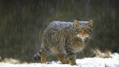 Bing Image Archive: Wildcat in Scotland (© Pete Cairns/Minden Pictures)(Bing United Kingdom)