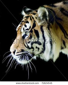 Sumatran Tiger Profile On A Black Background Stock Photo 71624545 : Shutterstock