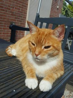 Boedha my ginger cat