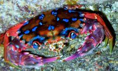 Hawaiian rainbow crab