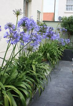 Agapanthus africanus to be planted amongst the tropical style planting around hot tub area Garden Tub, Dream Garden, Garden Cottage, Garden Plants, Terrace Garden, Pool Landscape Design, Garden Design, Landscaping With Rocks, Backyard Landscaping