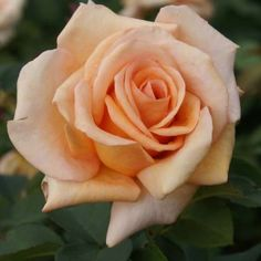 ~Warm Wishes | This hardy variety grows upright & produces shapely, full petalled blooms of a soft peach colour which last for a long time. An excellent provider of cut roses. Vigorous & healthy. Winner of 7 International awards.