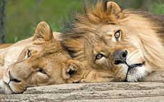 Est Incroyable Cette Lionne Prend Soin De Cette Petite Gazelle Et