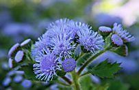 Le piante repellenti per le zanzare (Foto)